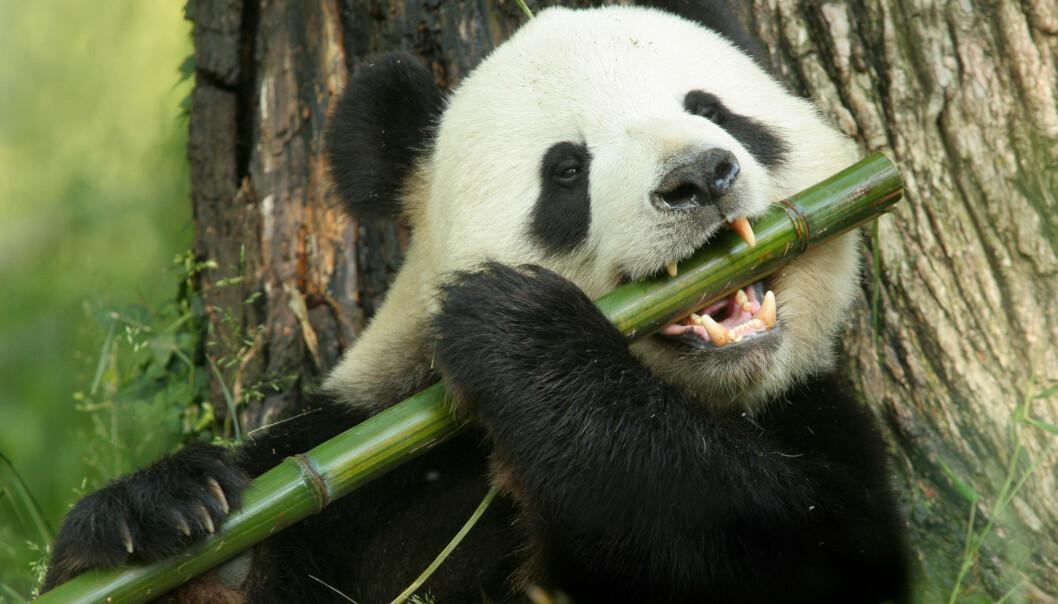 Det er et minimum med tilpasninger som ligger til grunn for at pandaen livnærer seg på bambus. (Foto: Bryan Faust, Shutterstock, NTB scanpix)