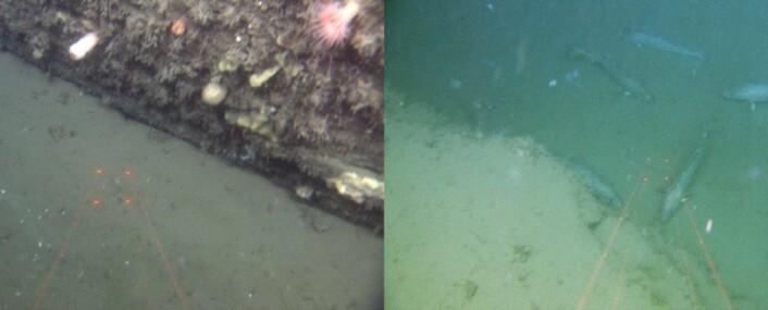 Figur 5. Lagdelte sedimentære bergarter fra trias i den sørligste pockmarkforhøyningen vist i Figur 2. Her går topaslinjen litt ved siden av området der det stikker ut berggrunn. Det er 10 cm mellom de røde laserlysprikkene. Foto: MAREANO/Havforskningsinstituttet