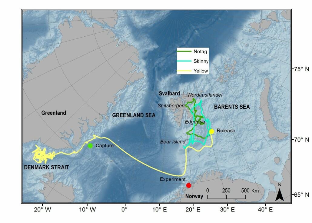 Forskerne kunne følge selene via satellitt etter at de slapp dem fri. Selene Skinny og Notag svømte mot Svalbard. Yellow svømte helt til Grønland. (Kart: Coexist)