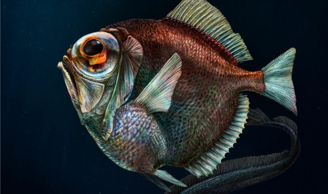 Dypvannsfisken Diretmus argenteus kan se en slags farger i det som for mennesker ville vært stummende mørke. (Illustrasjon: Pavel Riha, Universitetet i Sør-Böhmen, Tsjekkia)
