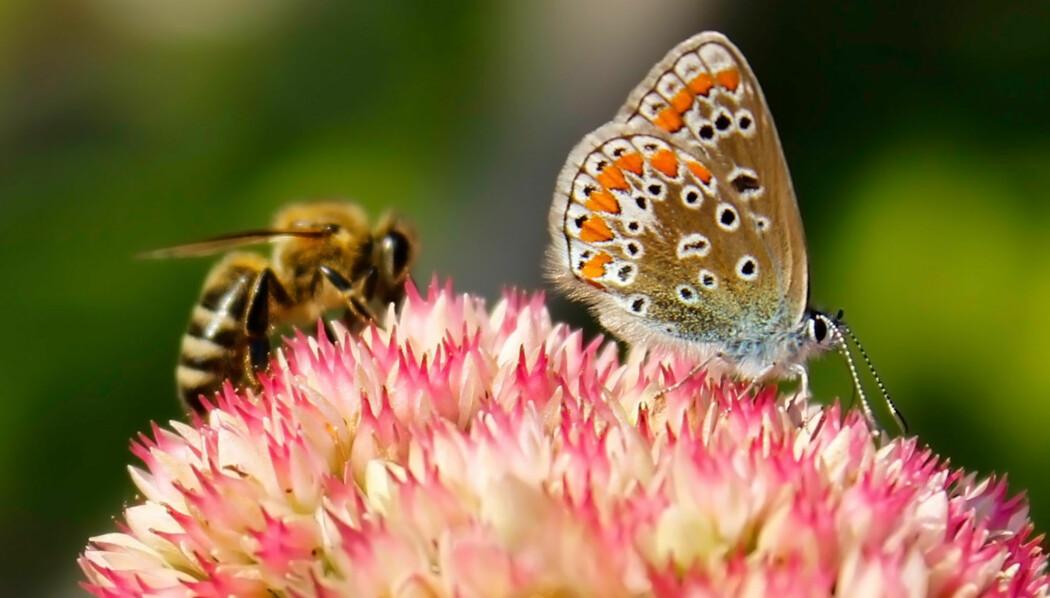 Bier og sommerfugler er blant insektene som er mest utsatt. (Foto: M.M.art / Shutterstock / NTB scanpix)