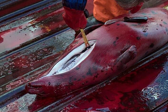 Forskerne måler spekktykkelsen til selen for å finne ut om den er i god form eller ikke. (Foto: Elvar H. Hallfredsson, Havforskningsinstitttet)