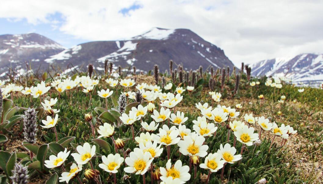Tepper med reinroser i full blomst nær forskningsstasjonen Zackenberg på Nordøst-Grønland.  (Foto: Mikko Tiusanen)