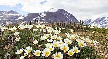 Liten flue er superpollinatoren i Arktis