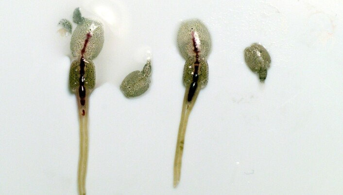 Hos lakselusene er det hunnene som er størst. En fullvoksen hunnlus kan bli større enn én centimeter. I tillegg har hunnlusa eggstrenger der hun oppbevarer eggene, og de kan bli opptil fem centimeter lange. (Foto: Kjartan Mæstad / Havforskningsinstituttet)