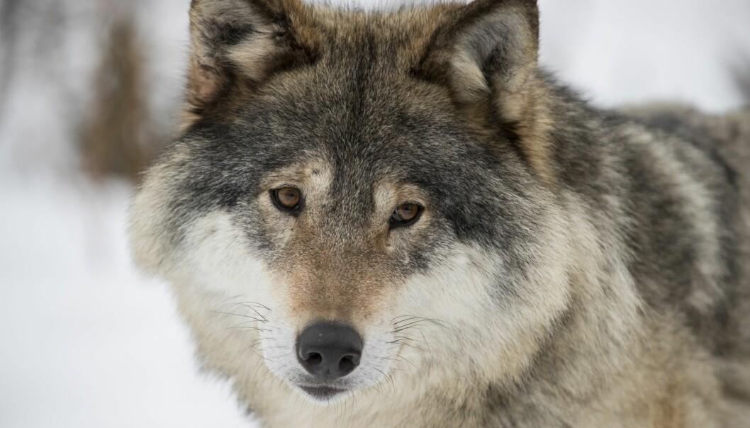 De aller fleste ulvene ble observert innen forvaltningsområdet for ynglende ulv (ulvesonen) i Sørøst-Norge. (Illustrasjonsfoto: Heiko Junge / NTB scanpix)