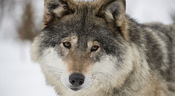 Færre ulver i Norge