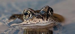 Norske frosker unnslipper fryktet sykdom