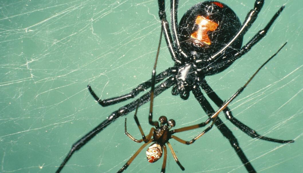 En sort enkehann prøver å nærme seg en hunn for parring. Det er vanligvis en dødelig aktivitet for hannen. [Foto: James H. Robinson / Photo Researchers / IBL Bildbyrå / NTBscanpix]