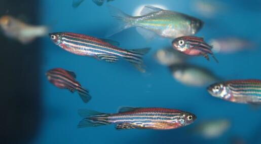 Fisk som manglet et spesielt protein viste tegn på Parkinsons
