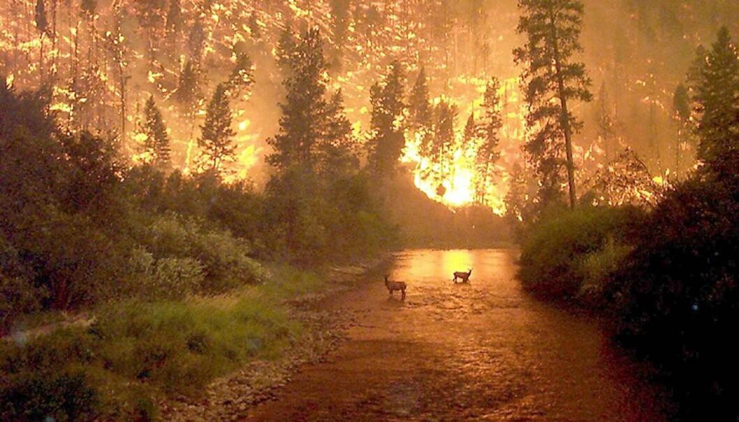 Dramatisk skogbrann i Montana, USA (år 2000). I USA slukker man ikke naturlig forekommende skogbranner i vernede områder så lenge brannen ikke er en trussel mot mennesker.  (Foto: John McColgan / NTB scanpix)
