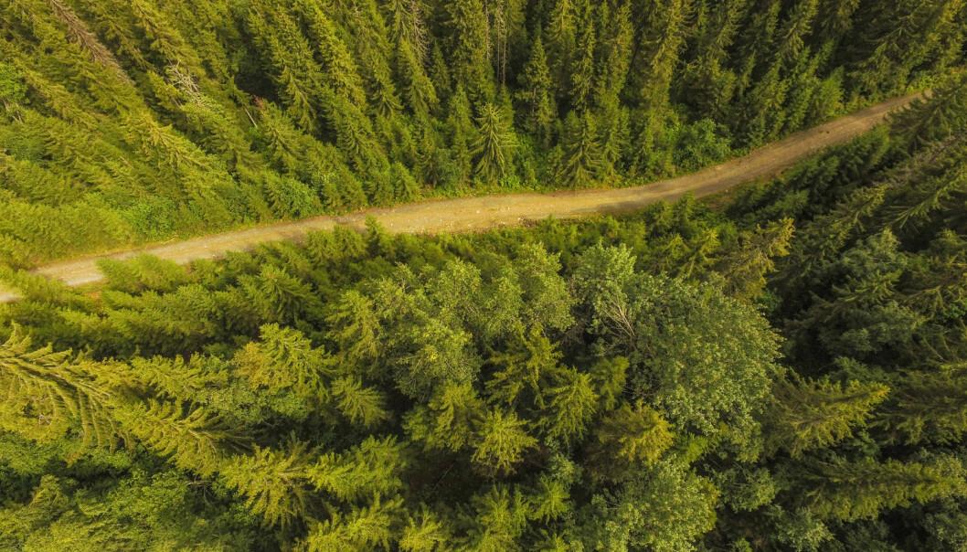 Helsetilstanden til skogen kan måles ut av trekronene.  (Foto: Stian Lysberg Solum, NTB scanpix)