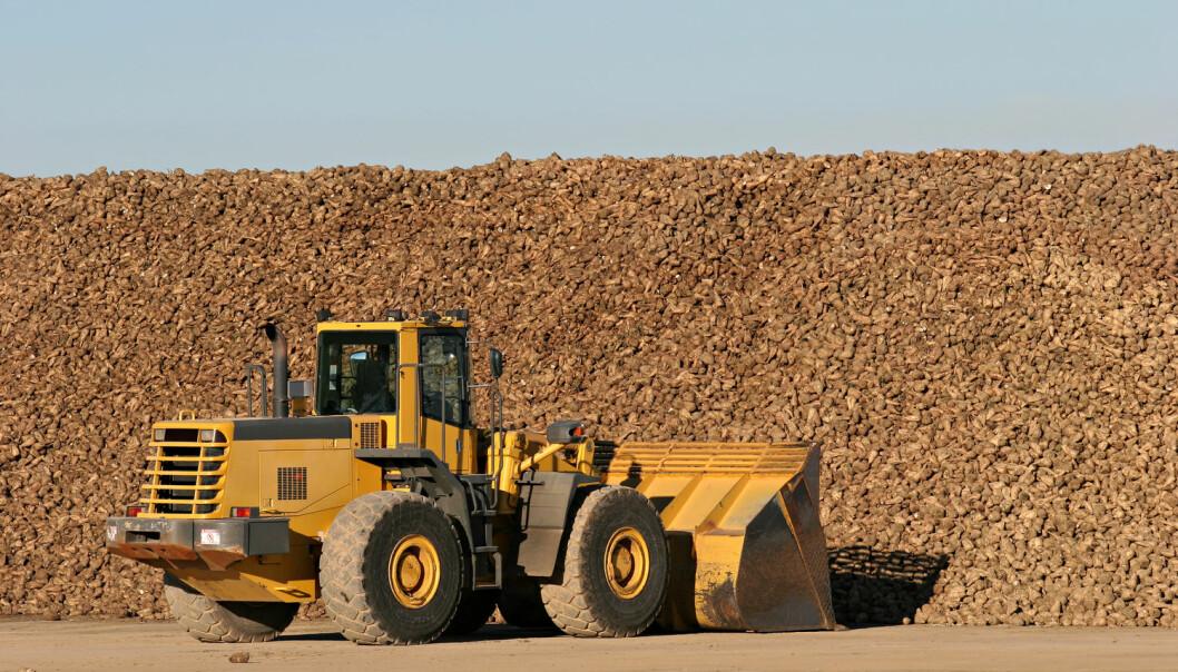 Sukkerbeter blir skuffet med bulldoser, i nærheten av en sukkerforedlingsfabrikk. Kan den mektige sukkerindustrien ha påvirket helseforskningen for å sikre sin egen framtid?  (Foto: Sascha Burkard / Shutterstock / NTB scanpix)