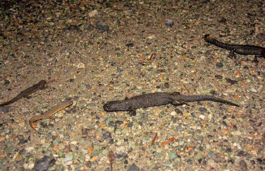 Salamandernes Serengeti