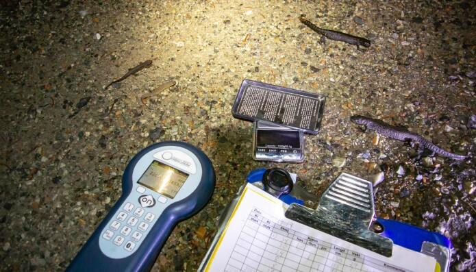 Salamanderne blir bestemt til art og kjønn, veid og lengdemålt. Foto: Børre K. Dervo.
