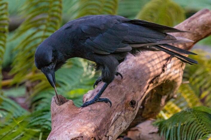 En hawaiikråke bruker en pinne for å pirke mat ut av en trelegg. (Foto: Ken Bohn, San Diego Zoo Global)