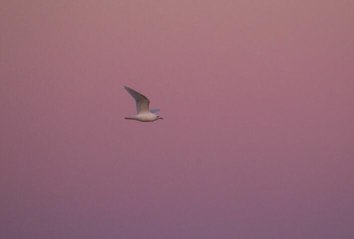 Ismåka er blant de sjøfuglartene i verden man vet aller minst om. (Foto: Eirik Grønningsæter, NINA / WildNature.no