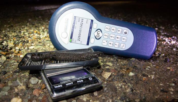 Storsalamander nr 900226000134244 er gjenfunnet seks år etter at den ble merket. Foto: Børre K. Dervo.