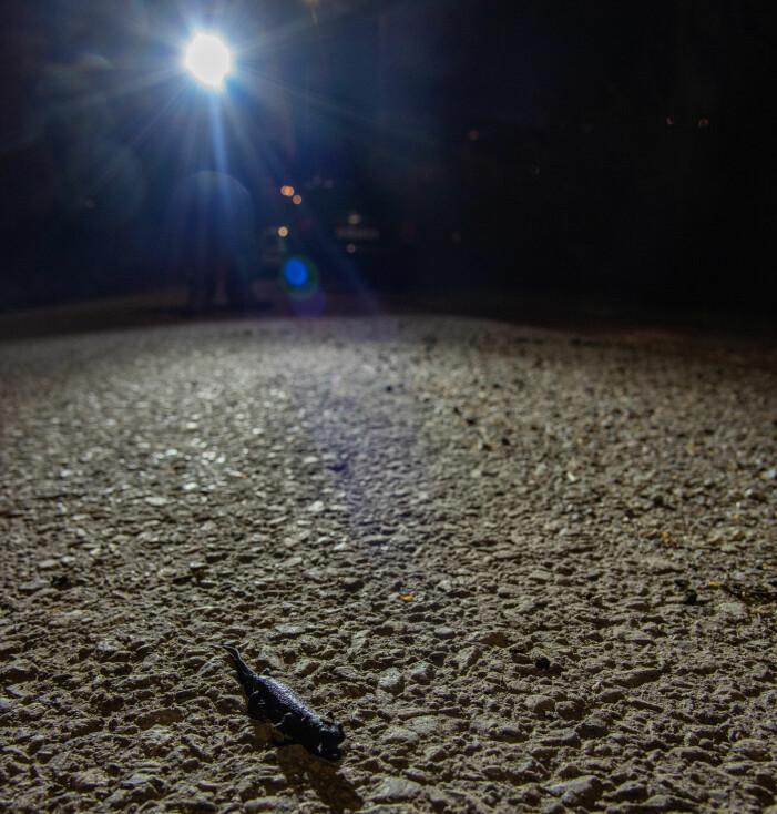 Jan har oppdaget en storsalamander som er i ferd med å krysse veien. Foto: Børre K. Dervo.