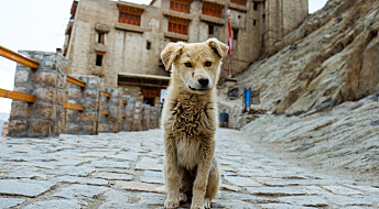 Kinesere ofret hundevalper for å få selskap i graven