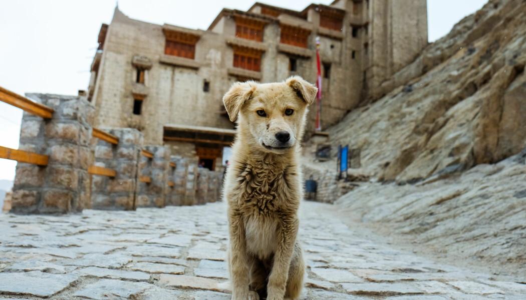 Valpene som ble brukt i ofringsseremoniene under Shang-dynastiet kan ha vært både kjæledyr og gatehunder. (Foto: Niraelanor, Shutterstock, NTB scanpix)