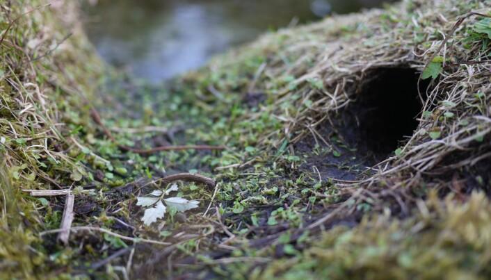 Vånden graver seg ned i det øverste jordlaget, spiser opp planterøtter og kan gjøre stor skade på inn- og utmark. (Foto: Henrik Pärn, NINA).