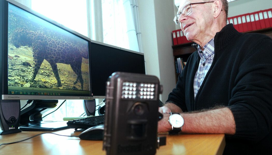 Øystein Wiig går igjennom enorme 230 000 bilder som viltkameranene i Paragominas hittil har tatt. (Foto: Ola Sæther)