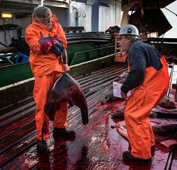 Forskningstekniker Nils-Erik Skavberg (t.v.) og havforsker Tore Haug veier en grønlandssel. (Foto: Elvar H. Hallfredsson, Havforskningsinstituttet)
