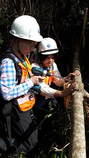 Soppforskerne Kadri Runnel og Adriene Soares på feltarbeid for å samle prøver av sopparter som mangler fruktlegeme, men lever inne i selve veden. (Foto: Kadri Runnel)