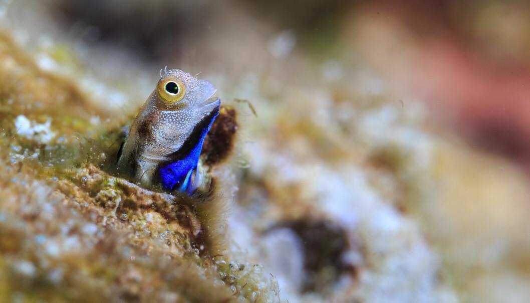 Dette er en av artene som kanskje er en viktig motor for å holde korallrevene i gang. Dette er en såkalt Bluebelly Blenny fotografert på et rev. (Foto: Tane Sinclair-Taylor