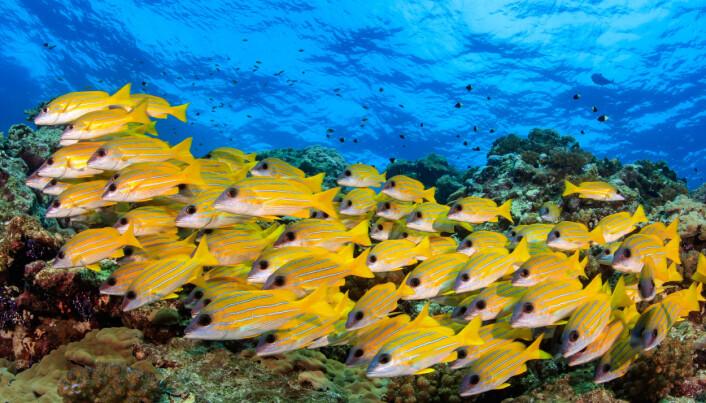Dette er Lutjanus kasmira, en av mange arter som lever av de små kryptobentiske fiskene. (Bilde: Tane Sinclair-Taylor)