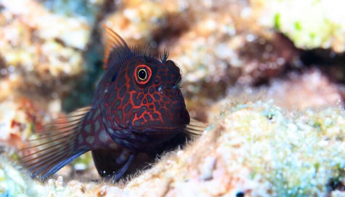 En annen variant av de små fiskene. De fleste av disse blir spist i løpet av noen få uker. (Bilde: Tane Sinclair-Taylor)
