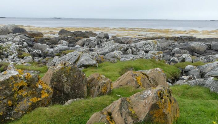 Ultramafiske bergarter kan stikke fram som små knauser i fjæra, her fra Fjørtofta på Sunnmøre (foto: Ane K. Engvik).