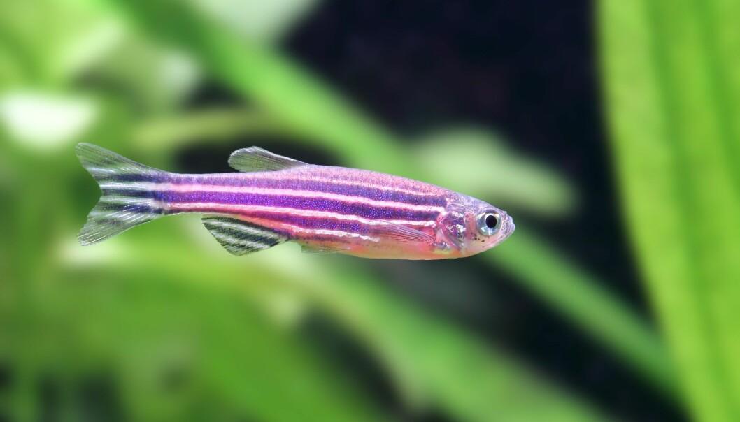 Forskere har funnet ut at ulike stammer av sebrafisk kan reagere svært ulikt på de samme fremmedstoffene. Resultatene av giftforsøk kan med andre ord påvirkes direkte av hvilke stammer som brukes. (Foto: topimages / Shutterstock / NTB scanpix).