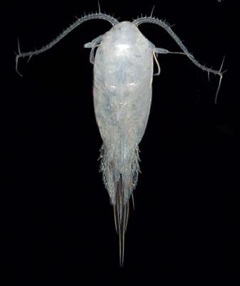 Hoppekrepser kommer i mange ulike typer og fasonger. Tharybis macrophthalma er én av dem. (Foto: Signe Johannessen / Havforskningsinstituttet)