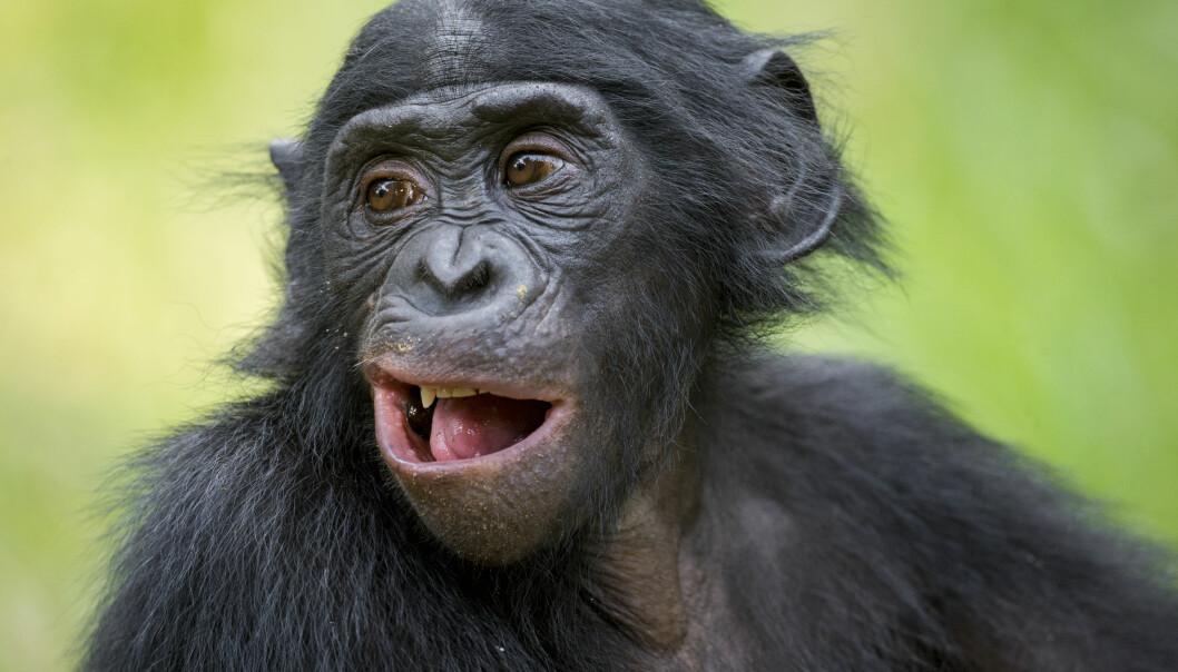 Tenåringsutgave av en dvergsjimpanse i Kongo. En studie viser nå at gutter får hjelp av sine mødre til å pare seg. (Foto: Shutterstock)