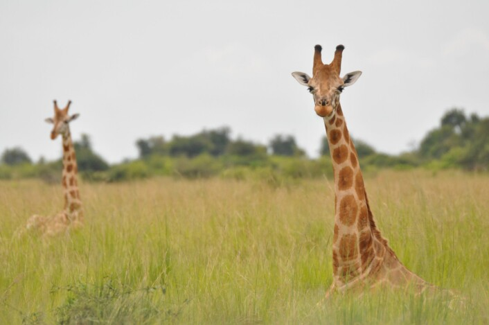 Fra underart av sjiraff til underart av nordlig sjiraff, men med samme latinske navn, heldigvis: <em>Giraffa camelopardalis camelopardalis</em>. (Foto: Julian Fennessy)