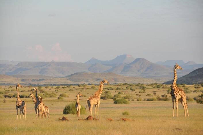 Fortsatt underart, men den sørlige savannesjiraffen kan få nytt latinsk navn. Fra <em>Giraffa camelopardalis angolensis</em> til <em>Giraffa giraffa angolensis</em>. (Foto: Julian Fennessy)
