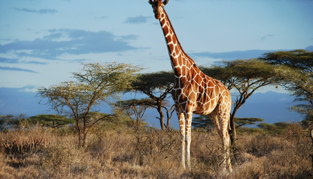 Fra underart til art? Den somaliske sjiraffen endrer i tilfelle latinsk navn fra <em>Giraffa camelopardalis reticulata</em> til bare <em>Giraffa reticulata</em>. (Foto: Julian Fennessy)