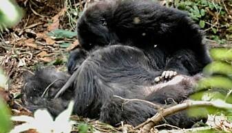 Her sørger den unge gorillaen over moren sin
