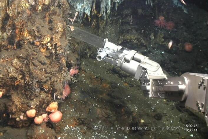 Mange rovsvamper har blitt samlet inn i havområdene rundt Jan Mayen i nærheten av hydrotermale kilder. Små krepsdyr lever av bakterier fra de varme kildene, og blir igjen fanget av rovsvamper. (Foto: Hans Tore Rapp, Institutt for biologi, Universitetet i Bergen)