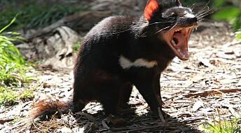 Kan de tasmanske djevlene redde seg selv?