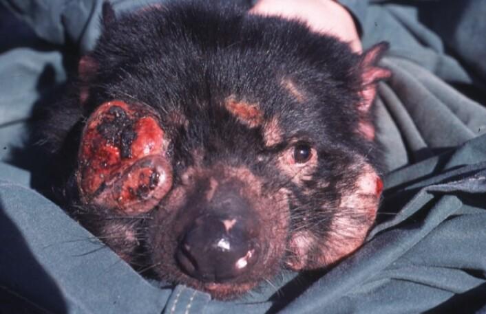 Devil Facial Tumor Disease ødelegger ansiktet til dyret og hindrer det i å spise og puste. Alle dyra som får sykdommen, dør i løpet av kort tid. (Foto: Menna Jones, CC BY 2.5)