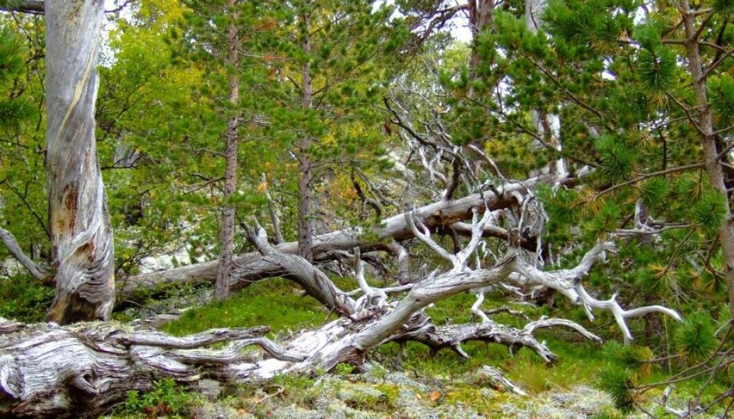 Død furu fra furuskogen i Norddalen naturreservat i Narvik i Nordland - et svært dødvedrikt furuskogsområde. (Foto: Anne Sverdrup-Thygeson, NMBU)