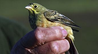 Hvert år ble opp mot 30 000 av denne delikatesse-fuglen fanget i Frankrike. Etter at forskere kartla situasjonen har myndighetene tatt grep.