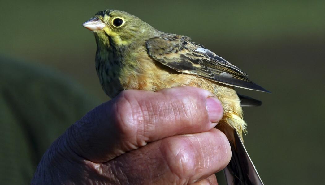 En hortulan som skal brukes som lokkefugl i jakt i Frankrike. Dette bildet er fra 2007. Hvor mye betyr denne jakten egentlig for hortulanen? (Bilde: AP Photo/Bob Edme/NTB Scanpix)