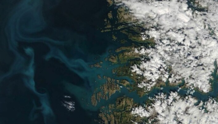 Algane er til og med synleg frå verdsrommet. Satellittbilde av Sognefjorden den 19. mai 2019. Etter den tid har algeoppblomstringa framleis vore synleg, men skydekke har gitt dårlegare bilde. (Foto: NASA Worldview data)