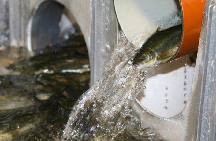 Sortering av fisk på Smøla Klekkeri og settefiskanlegg. Når fisken er mellom 70-140 gram er den klar til å takle saltvann, den kalles da for smolt. (Foto: Peder Gjøstøl Iversen)