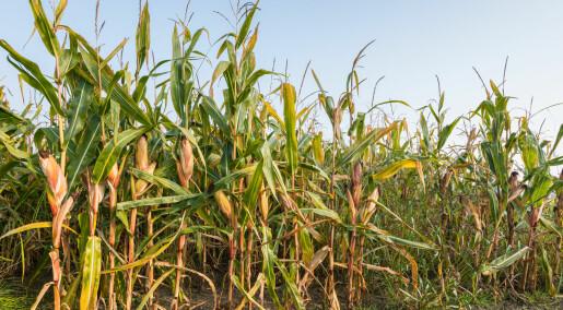 Uenige om GMO-mais er farlig for miljøet