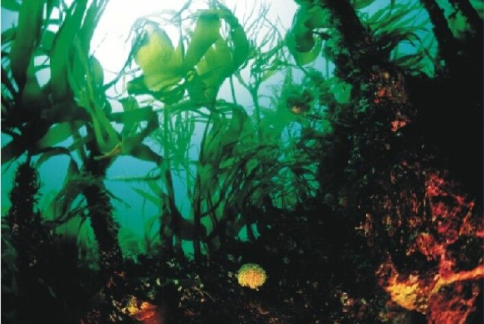 I fremtiden kan alger bidra til å bygge nye kroppsdeler. (Foto: Y. Gladu, Creative Commons)